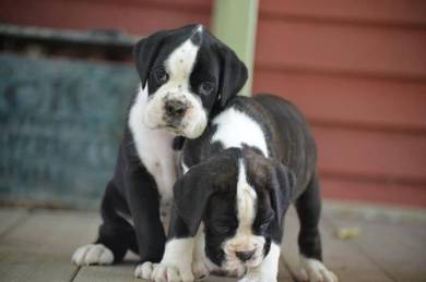 Male and female vet Boxer Puppies