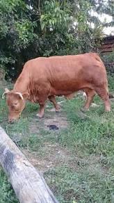 Lembu betina charolais