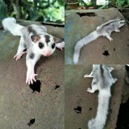 Sugar glider white face mosaic ringtail