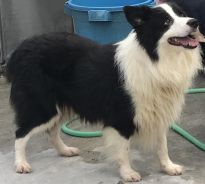 Border collie male for stud service