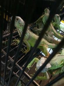 Iguana Hijau / green iguana