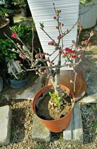 Pokok bunga sakura cina