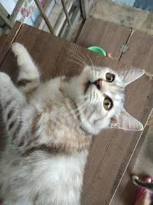 Anak kucing baka SEMI FLAT PERSIAN mix DLH