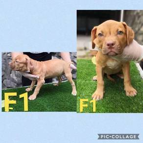 XXL Pitbull Puppies