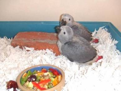 Gorgeous Hand Reared Baby African Gray Parrots