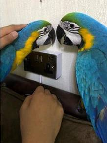Hand-reared macaws baby parrot
