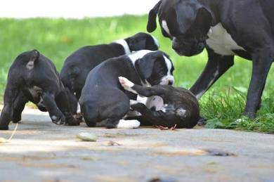 Fawn and brindle Boxer Puppy�s