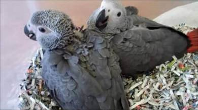 Cute African gray babies Parrots