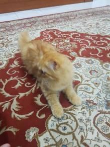 Persian mix Domestic Long Hair.
