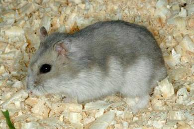 Hamster winter white comel