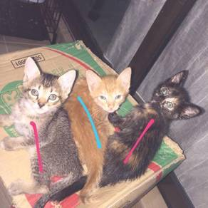 Free mixed american shorthair?
