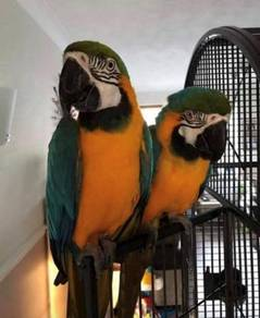 Gold and blue wings macaw Parrots