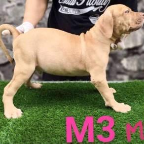 XXL Pitbull Puppy