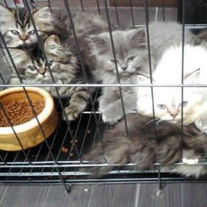 Kucing parsi / persian kitten