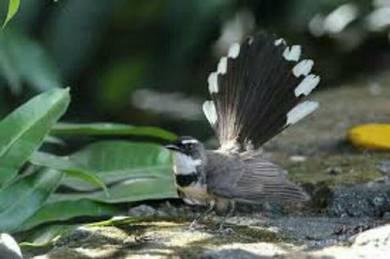 Burung kipas