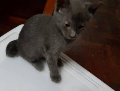 Charteux siam mix kitten cat kucing