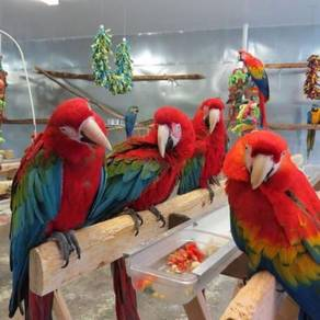 Red and green Wings healthy babies Macaw Parrots