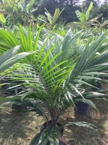 Anak Benih kelapa Sawit