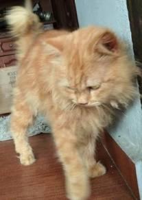 Kucing Parsi Jantan