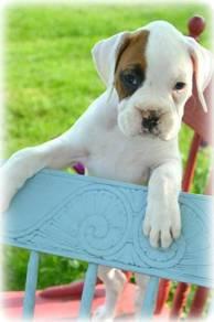 Home raised Boxer puppies