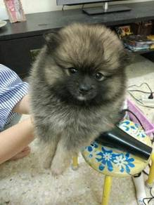 Teacup puppies Pomeranian