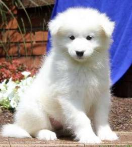 Magnificent Samoyed puppies
