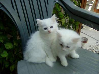 Lovely Cute Persian Kittens