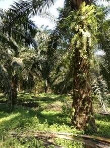 Tanah Kebun Kelapa Sawit, Bagan Serai