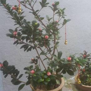 Last min cny flower