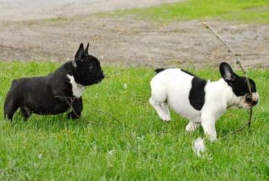 Male and #female French Bulldog puppies