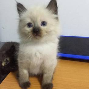 Mix Parsi Siamese kittens for sale