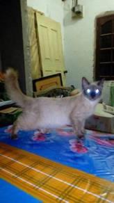 Kucing siam cross parsi