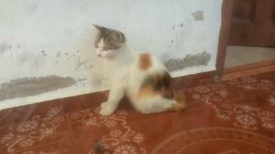 Kucing bulu lebat