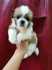 Shizu puppy