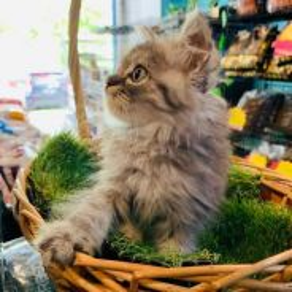 Persian Long hair kittens
