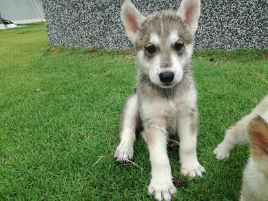 Siberian Husky puppies for selling