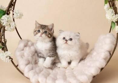 Gorgeous Scottish Straight Pure Pedigree Kittens