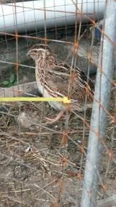 Burung puyuh quail
