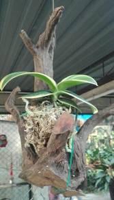 Orkid batik