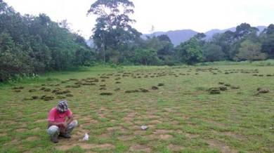 Cow Grass Murah 50sen sekaki