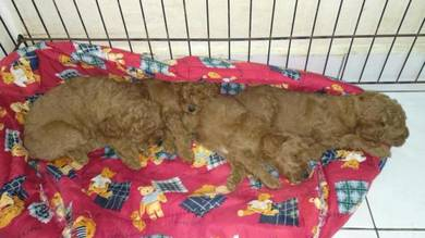 Pure Toy Poodle for sale