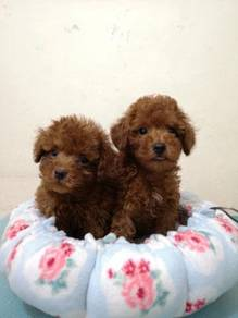 Tiny Red MKA Poodle