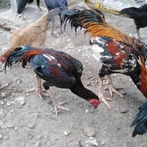 Ayam muda