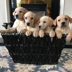 Vet checked labrador retriever pups