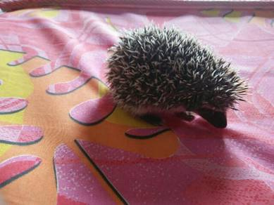 Baby Hedgehog Female for Sale.