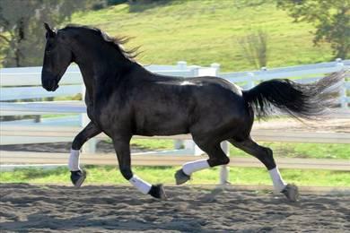 Friesian Gelding horse