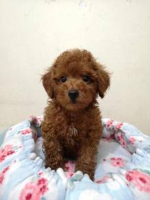 Mka tiny red poodle