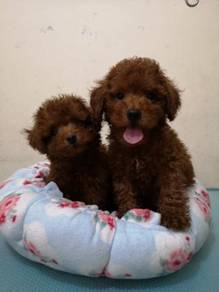Tiny MKA Red Poodle