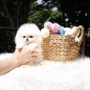 We got Nice quality Pomeranian teacups puppies