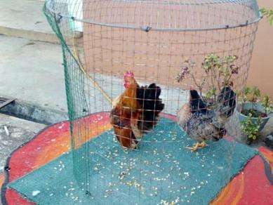 Ayam serama bon dan induk warna hitam